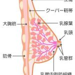 バストアップのポイントのひとつクーパー靭帯とは